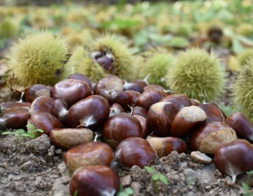 Aydın Chestnut