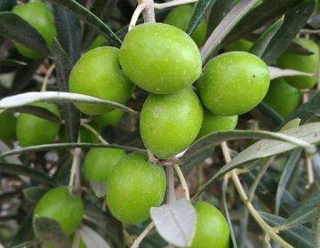 Aydın Yamalak Yellow Olive