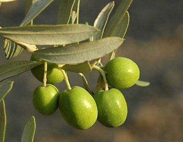 Aydin Olive